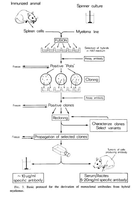 monoclonal antibody production protocol pdf