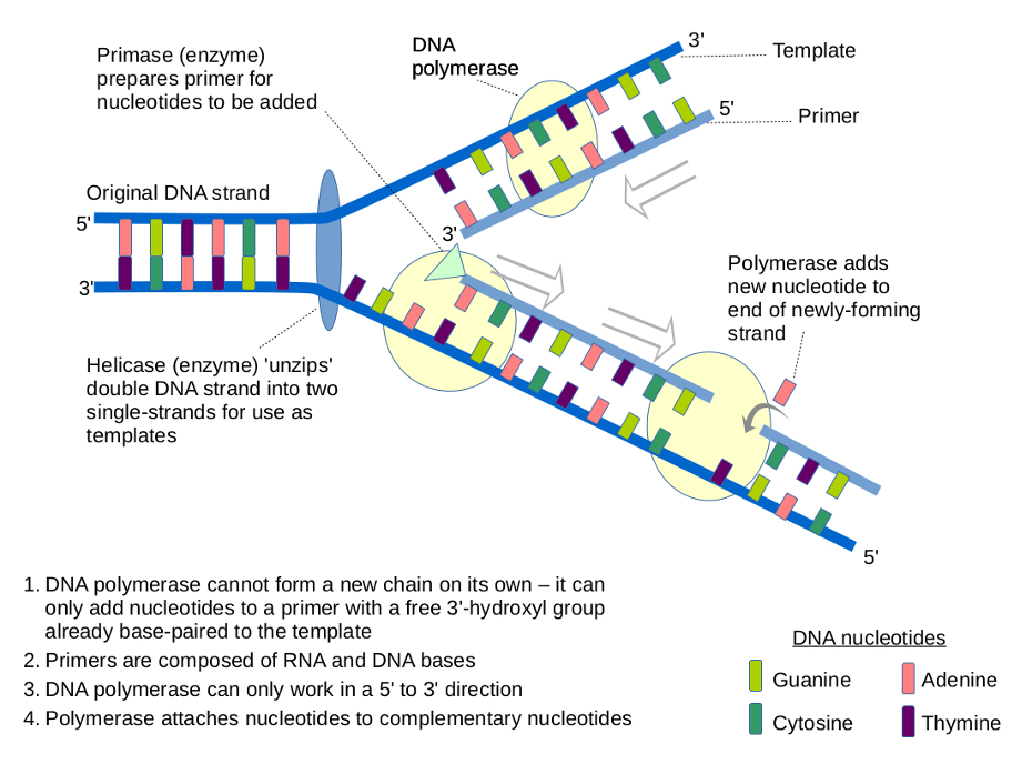 The ultimate goal sequencing dna figure 1 diagram showing the role of dna polymerase in the duplication of dna maxwellsz