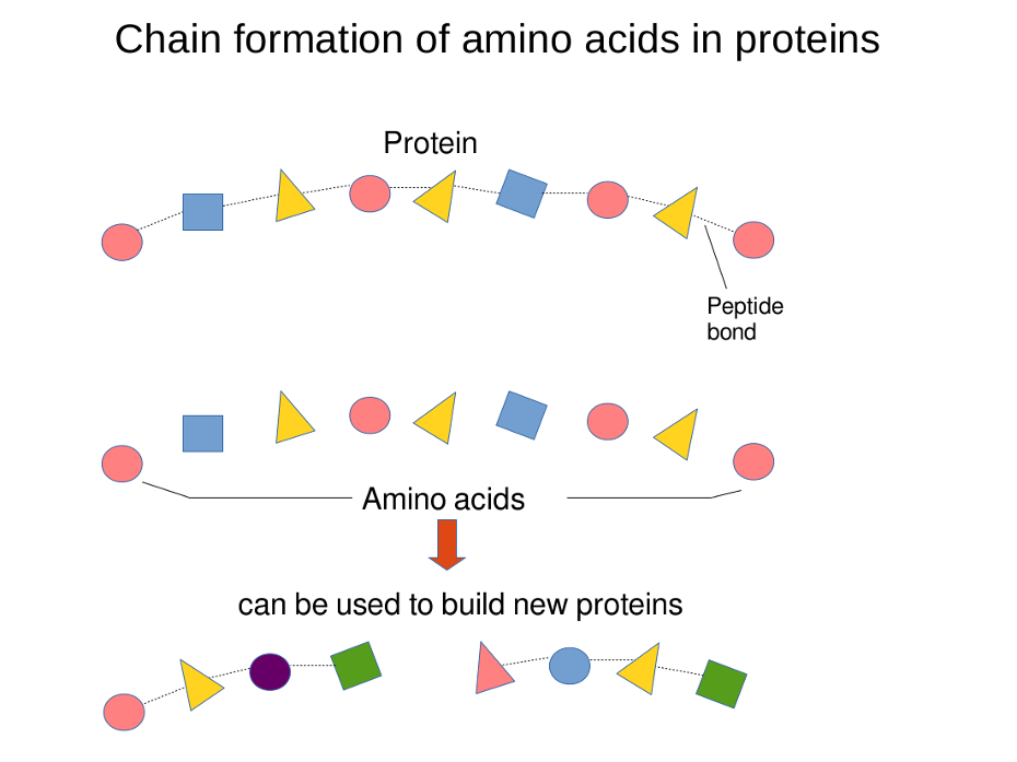Sequencing Proteins Insulin