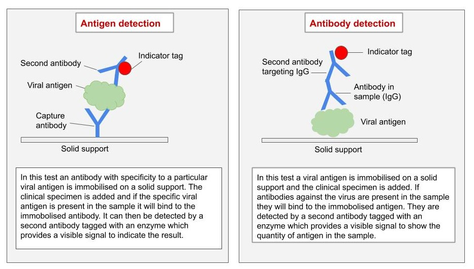 The mechanism behind antigen and antibody tests