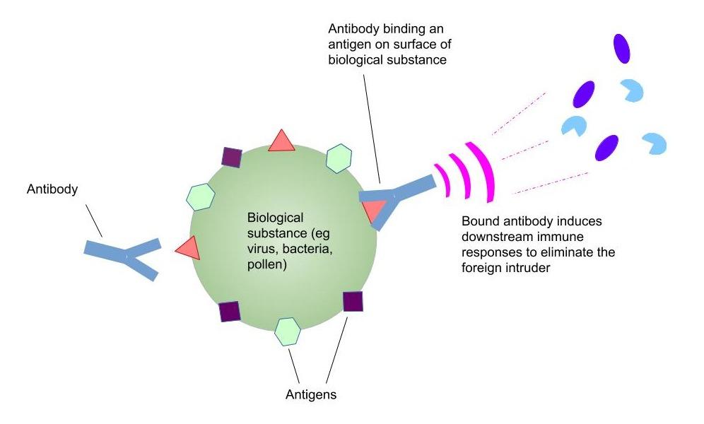Figure 1: Diagram of antibody binding to an antigen