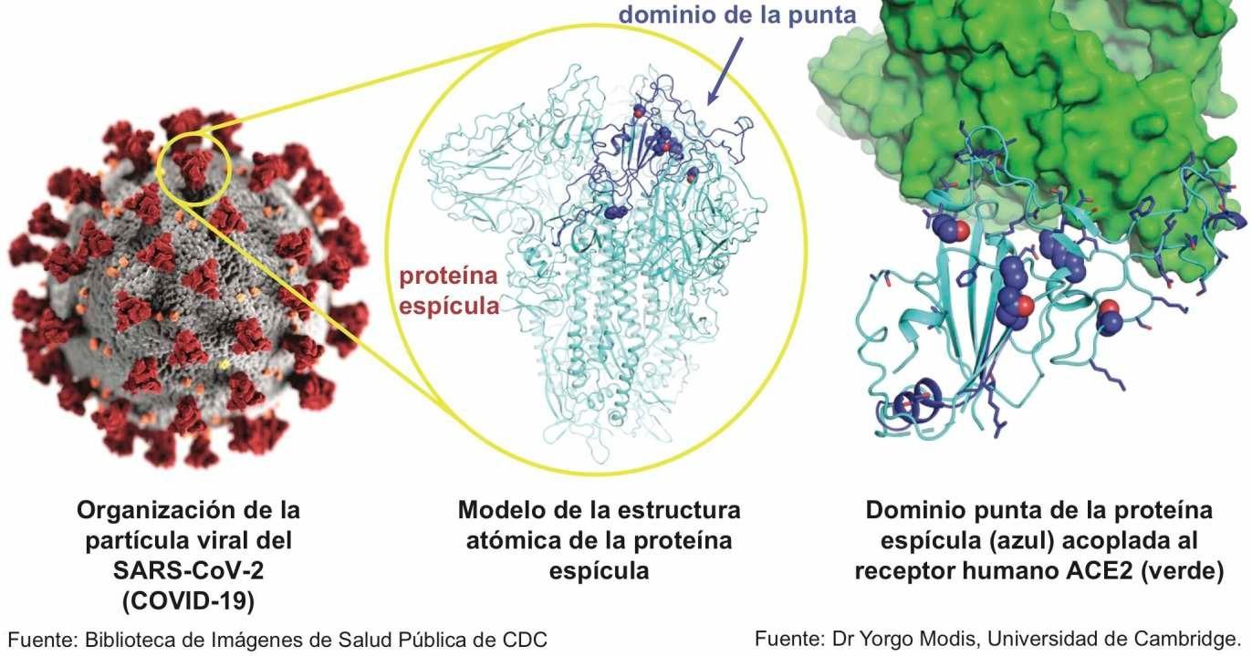 Estructura del SARS-CoV-2 y la proteína espícula (spike), que se acopla al receptor humano ACE2