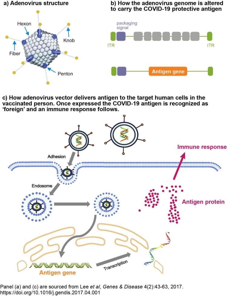 Adenovirus vectors