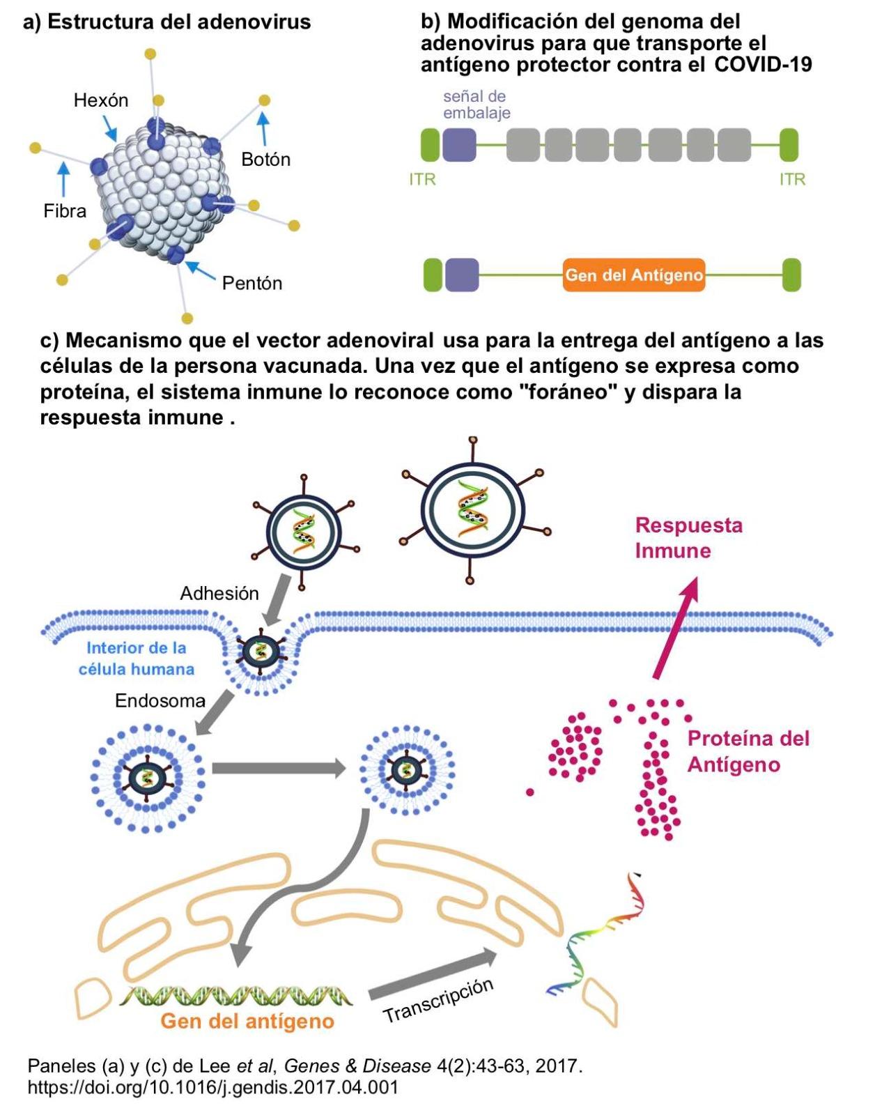Vectores de adenovirus