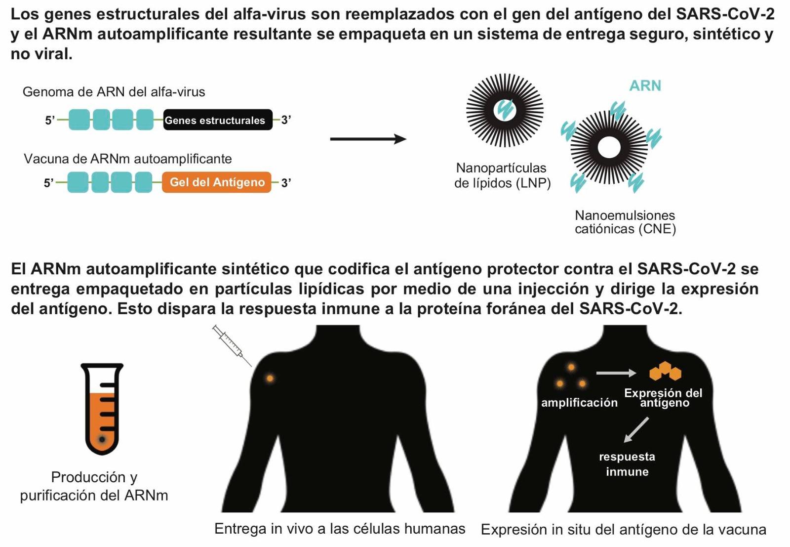 Vacunas de ARNm autoamplificadoras administradas con sistemas no virales