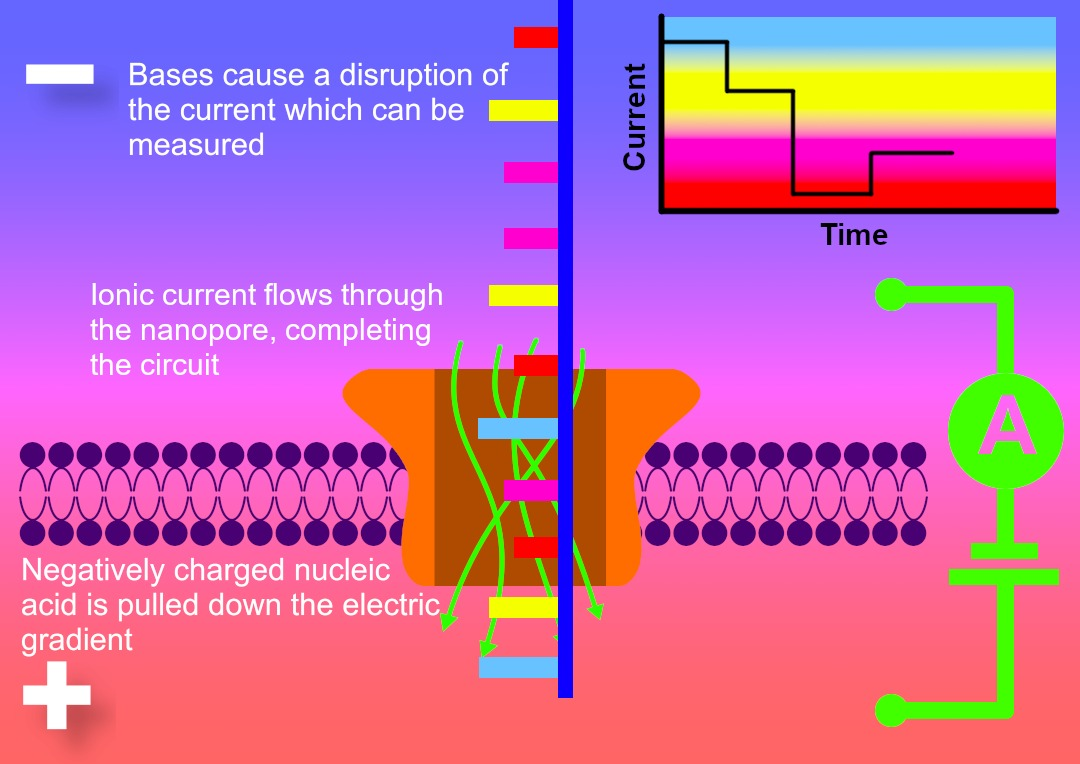 Diagram illustrating the process of nanopore sequencing