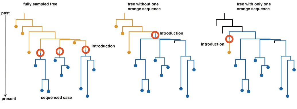 Diagram from Nextstrain showing a more fully sampled phylogenetic genetic tree